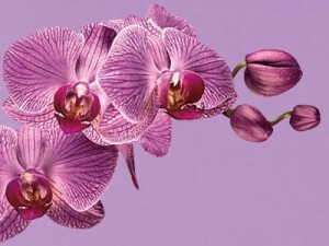 2014-radiant-orchid